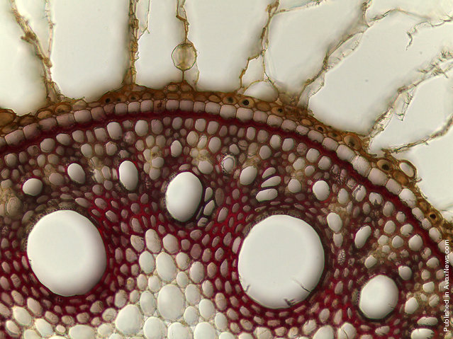 Debora Leite of the University of Sao Paulo, in Sao Paulo, Brazil observed this cross-section of the structure of a sugarcane root